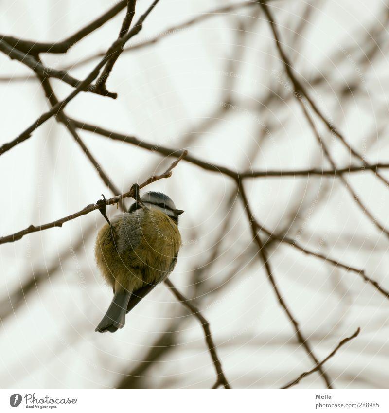 verflixt und zugenäht, ich hab den Faden verloren! Umwelt Natur Tier Herbst Winter Pflanze Baum Ast Geäst Vogel Meisen Blaumeise 1 hängen frei klein natürlich