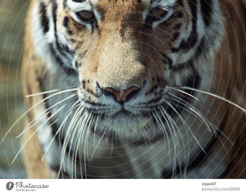 tiger Kraft gefährlich Leben Wunsch Energiewirtschaft bedrohlich danger