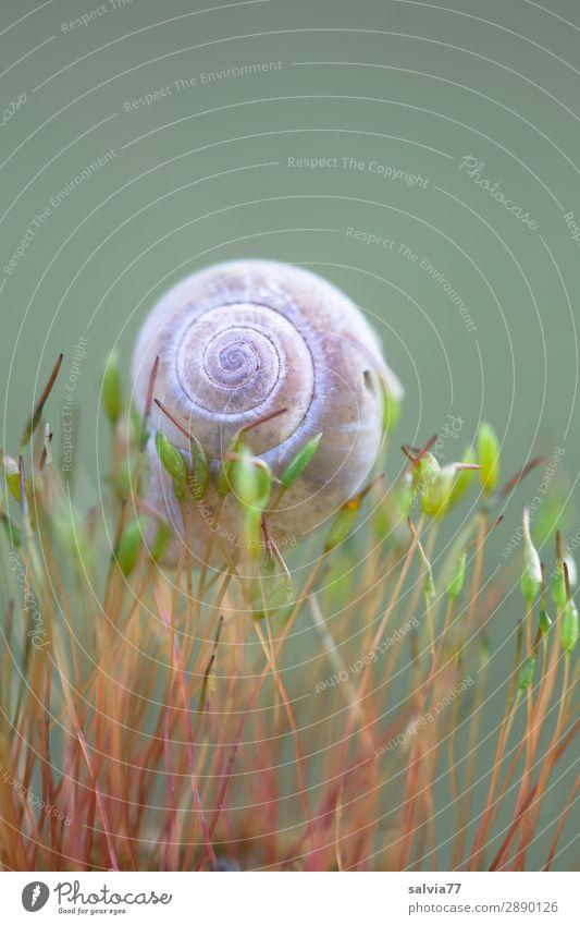 zart getragen Umwelt Natur Pflanze Moos Blatt Grünpflanze Wald Tier Schnecke Schneckenhaus 1 klein oben Leichtigkeit Spirale Schutz Farbfoto Außenaufnahme