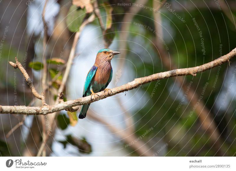 Eisvogel in Pose Tier Wildtier Vogel 1 beobachten Blick sitzen ästhetisch exotisch schön natürlich blau braun mehrfarbig grün violett orange türkis Tierliebe