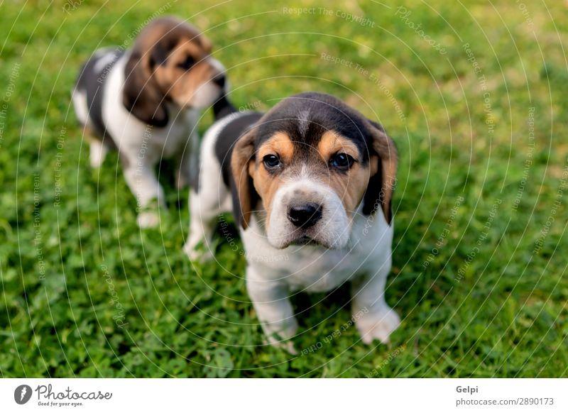 Schöne Beagle-Welpen auf dem grünen Gras Garten Freundschaft Partner Natur Landschaft Tier Haustier Hund klein niedlich verrückt braun weiß gehorsam Energie