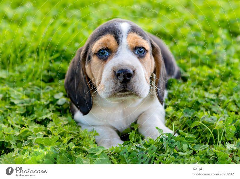 Schöner Beagle-Welpe auf dem grünen Gras Garten Freundschaft Natur Landschaft Tier Haustier Hund klein niedlich verrückt braun weiß gehorsam Energie jung