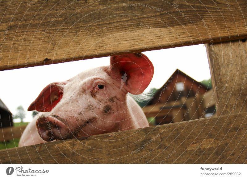 coole Sau Gesunde Ernährung Tier Essen Glück rosa dreckig niedlich Coolness Sehnsucht Ohr Bauernhof Bioprodukte Übergewicht Tiergesicht Fleisch Fressen