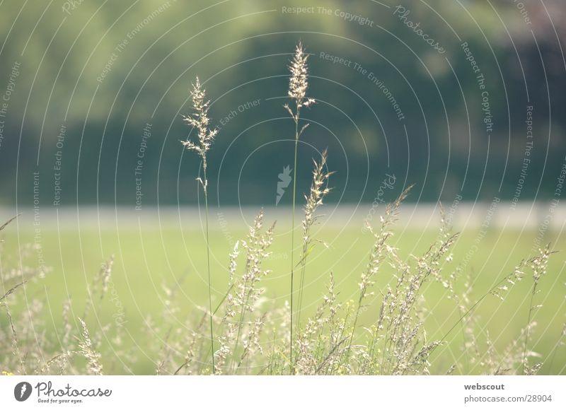 Windstille Gras Halm Wiese ruhig Sommer Frühling
