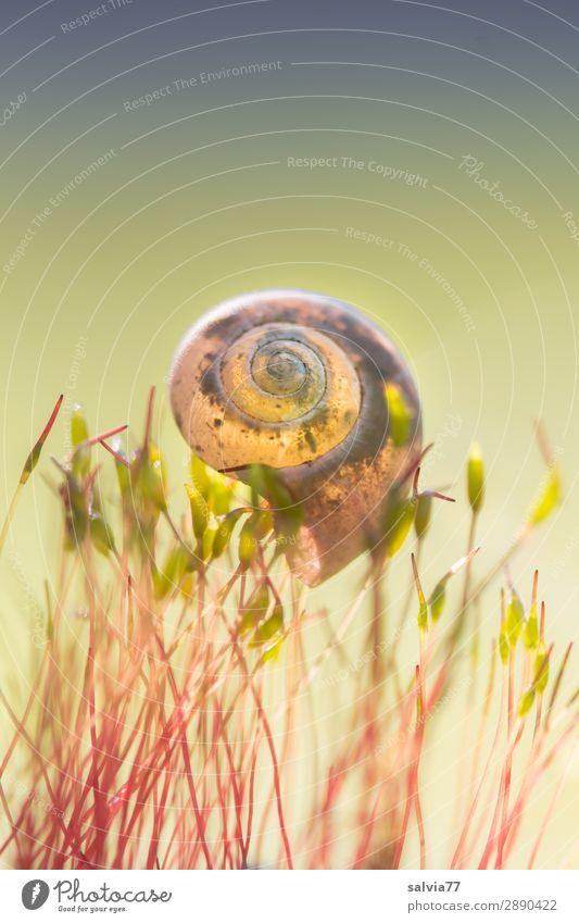leicht getragen Umwelt Natur Erde Pflanze Moos Blatt Grünpflanze Wald Tier Schnecke Schneckenhaus 1 weich Leichtigkeit Spirale Farbfoto Außenaufnahme