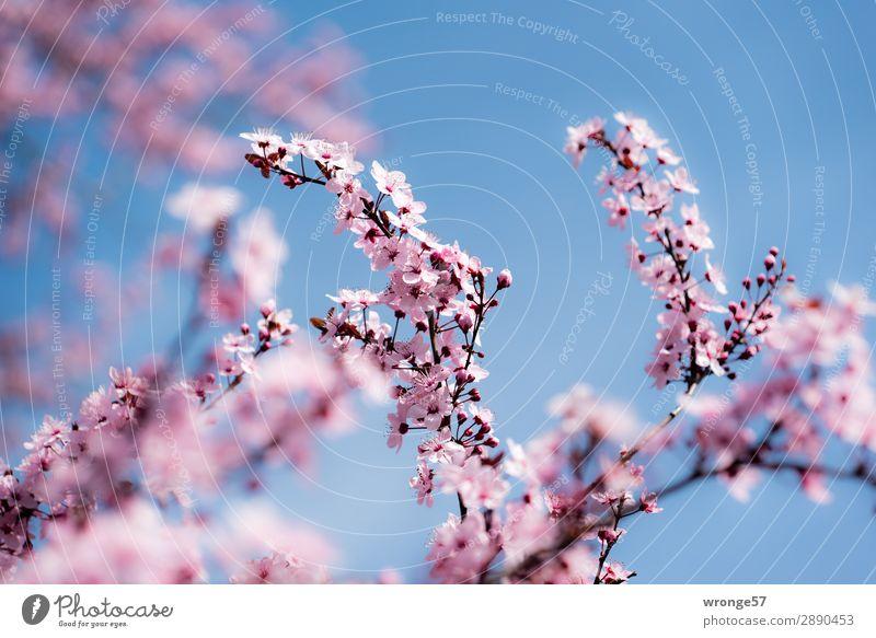 Frühlingsmotiv Natur Pflanze Himmel Wolkenloser Himmel Schönes Wetter Baum Blüte Kirschbaum Zierkirsche Garten Park Blühend schön blau mehrfarbig rosa Gefühle