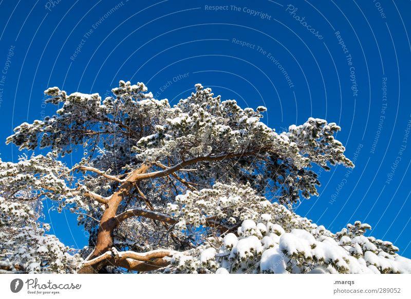 Kiefer Umwelt Natur Wolkenloser Himmel Winter Klima Schönes Wetter Schnee Baum groß hoch kalt schön Perspektive Farbfoto Außenaufnahme Menschenleer