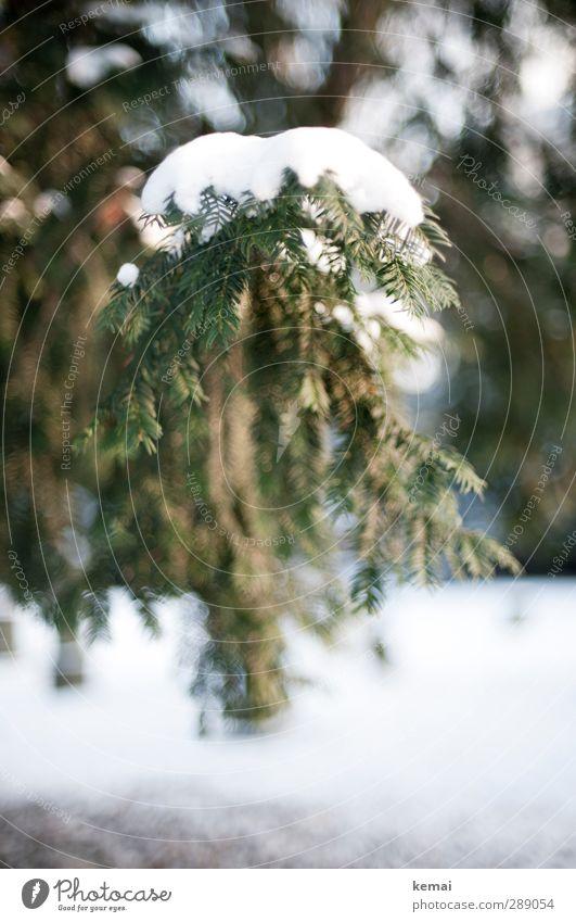 Eine Ladung Schnee Umwelt Natur Pflanze Winter Eis Frost Baum Tanne Fichte Nadelbaum Tannennadel Zweig Ast Park kalt Spitze grün weiß schwer bedeckt Farbfoto