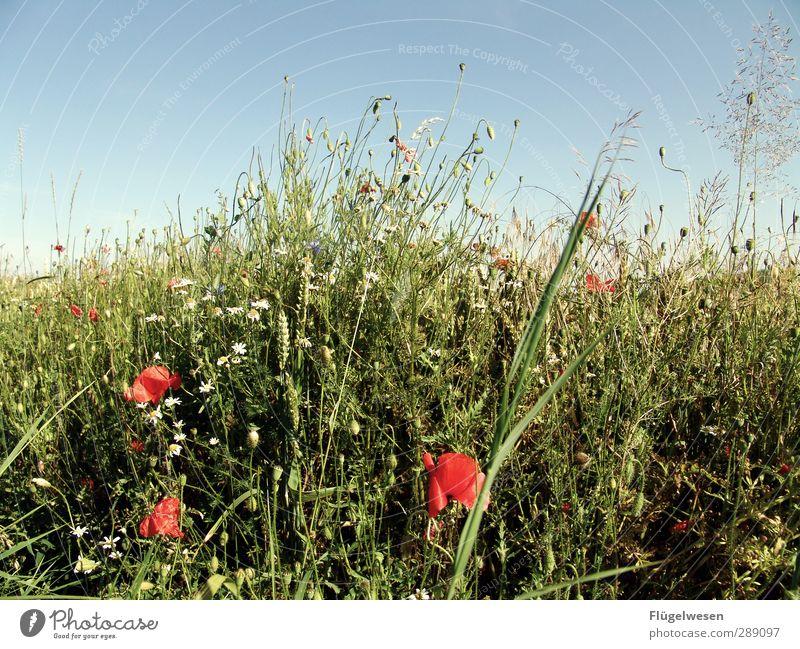 Ein Beet im Kornfeld Ferien & Urlaub & Reisen Sommer Umwelt Natur Landschaft Pflanze Tier Himmel Klima Schönes Wetter Blume Gras Sträucher Moos Efeu Farn