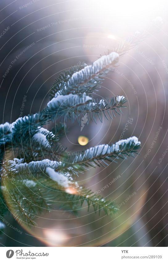 Cold Winter's Day Natur grün Pflanze Sonne Umwelt Schnee Lampe hell Luft Wetter Klima Schönes Wetter frisch Urelemente Hoffnung Weihnachtsbaum