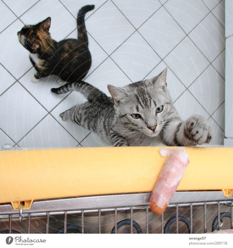 Versuchung Wurstwaren Wohnung Küche frech lecker Haustier Katze Hauskatze Glückskatze Grill Grillen verführerisch grau Samtpfötchen Farbfoto Innenaufnahme