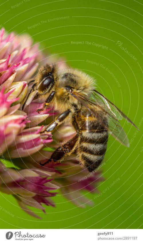 Bienchen Ausflug Expedition Umwelt Natur Frühling Sommer Pflanze Blume Blüte Wildpflanze Garten Park Wiese Tier Nutztier Wildtier Biene Tiergesicht Flügel Fell