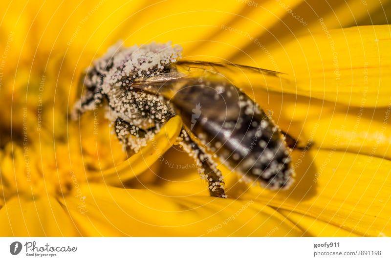 Biene voll mit Blütenstaub Ausflug Expedition Sommer Umwelt Natur Sonne Frühling Schönes Wetter Blume Garten Park Wiese Tier Nutztier Wildtier Flügel 1