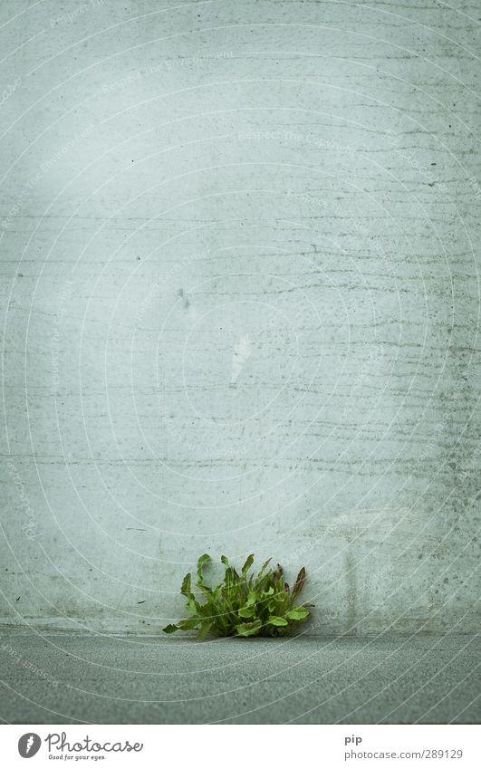 grün vs grau Pflanze Sommer Blatt Löwenzahn Mauer Wand Fassade Beton Stadt Energie Kraft Leben Überleben Durchschlagskraft Durchsetzungsvermögen erobern