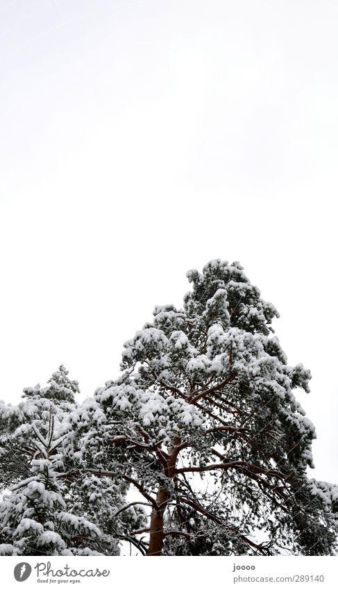 Snowwhite Himmel Baum Wolken Wald kalt Schnee grau groß schlechtes Wetter