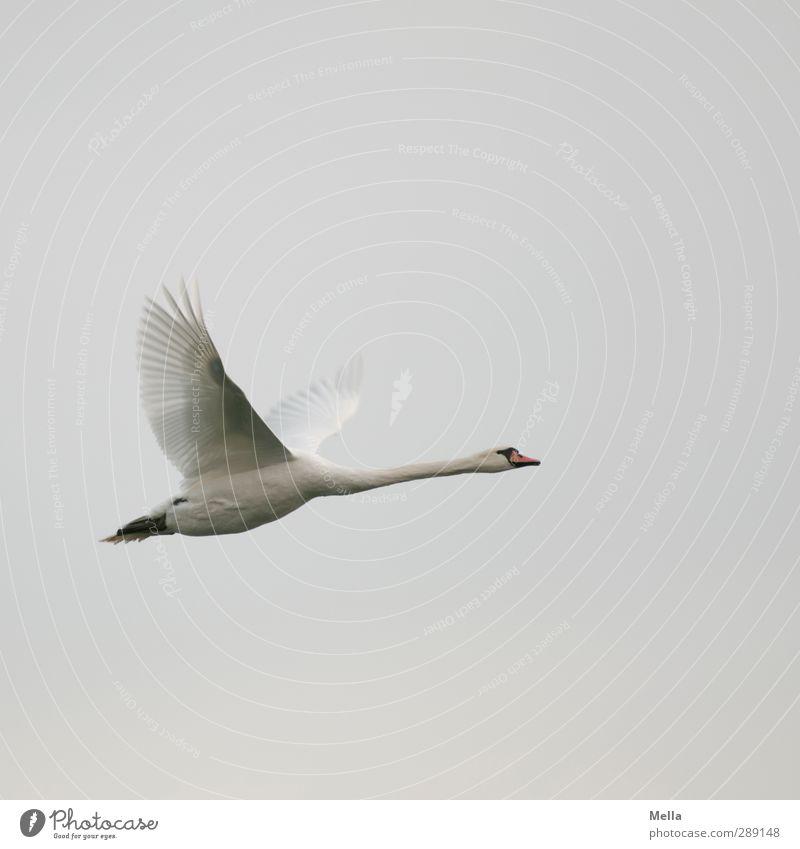 Ziiiiieeeeehhhhh! Natur Tier Umwelt Freiheit grau Luft Vogel natürlich fliegen frei Abheben Schwan