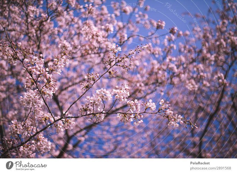 #A# Blütenfest Umwelt Natur Landschaft Pflanze ästhetisch Frühling Frühlingstag Frühlingsfarbe Frühlingsfest rosa Kirschblüten Farbfoto Gedeckte Farben