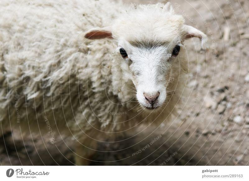 Unschuld vom Lande Tier Haustier Nutztier Wildtier Tiergesicht Fell Schafswolle Lamm niedlich unschuldig beobachten stehen Freundlichkeit kuschlig natürlich