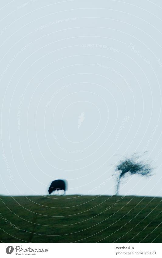 Schaf, Baum, Wind Freizeit & Hobby Ausflug Abenteuer Ferne Freiheit Sommerurlaub Umwelt Natur Landschaft Himmel Horizont Klima Klimawandel Wetter Sturm Wiese