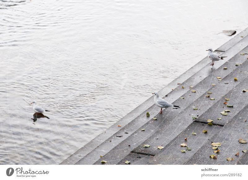 Treppenwitz Wasser Blatt Tier grau Küste Vogel Treppe Wildtier stehen Beton Tiergruppe trist Fluss Niveau Möwe Flussufer