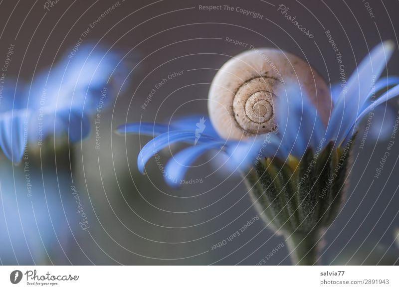 zartes blau Umwelt Natur Pflanze Blume Blüte Garten Tier Schnecke 1 Blühend oben rund weich grau Duft ruhig Schutz Strukturen & Formen Spirale sanft