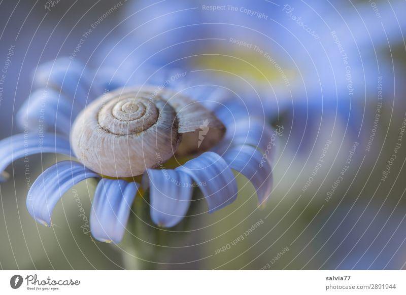 geborgen Umwelt Natur Pflanze Blume Blüte Garten Blühend Duft träumen Design ruhig Schutz Wandel & Veränderung Spirale blau Wunder traumhaft zart Geborgenheit