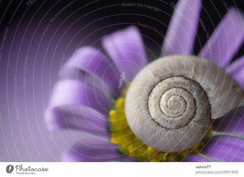 lila Natur Sommer schön Blume Tier Umwelt Blüte Frühling Garten oben ästhetisch rund Schutz violett positiv Schnecke