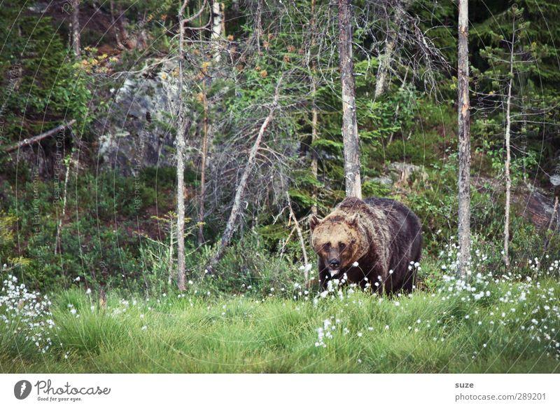 Brummbär Jagd Umwelt Natur Landschaft Tier Wiese Wald Fell Wildtier 1 beobachten bedrohlich Neugier stark wild braun grün Appetit & Hunger Angst Kraft Bär