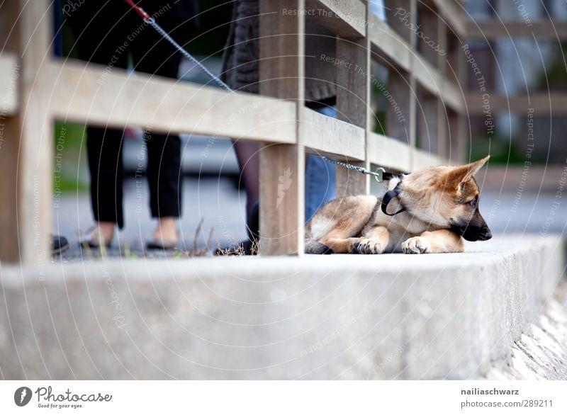 Langweilig Tier Garten Park Brücke Terrasse Haustier Hund deutsche schäferhund 1 Tierjunges beobachten Denken entdecken Erholung liegen Blick Freundlichkeit