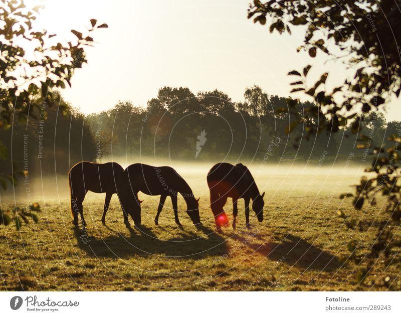 Frühstück Umwelt Natur Pflanze Tier Himmel Wolkenloser Himmel Herbst Nebel Baum Blatt Wiese Nutztier Pferd hell schön kalt natürlich Weide Fressen Morgennebel