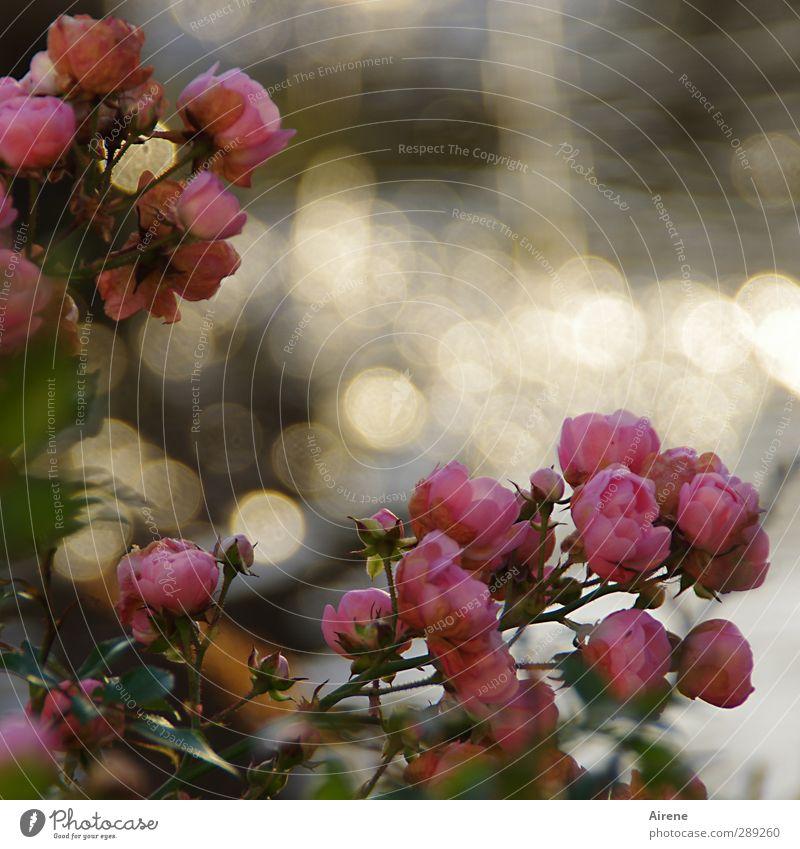 Rosen am alten Brunnen Natur Pflanze Wasser Wassertropfen Schönes Wetter Blume Blüte Park Tropfen Blühend glänzend gold rosa Stimmung Romantik Nostalgie