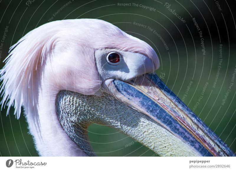 Pelikan Tier Nutztier Vogel Tiergesicht Blick rosa Auge Schnabel Hals Feder Kopf Farbfoto Totale Tierporträt