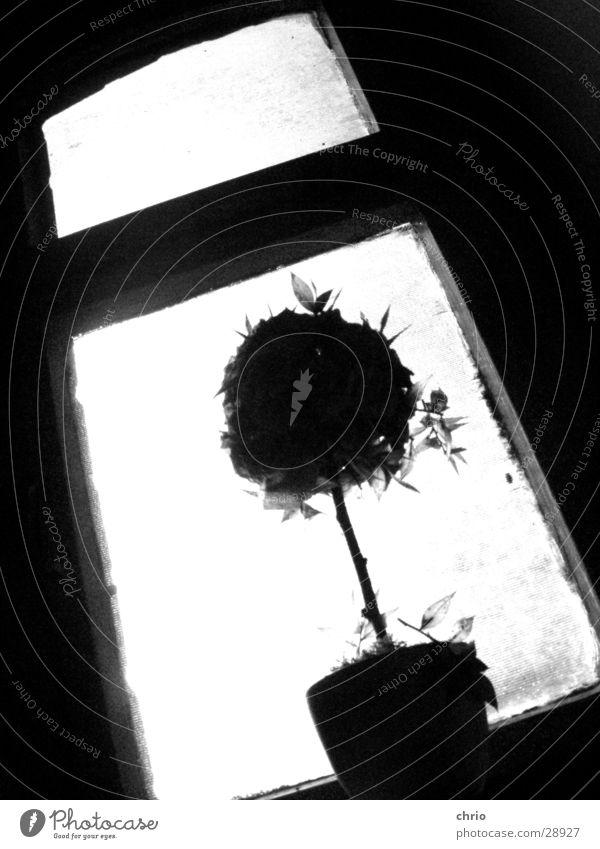 dürrer Rosenstock Fenster Blume dunkel obskur Schwarzweißfoto Perspektive Silhouette hell