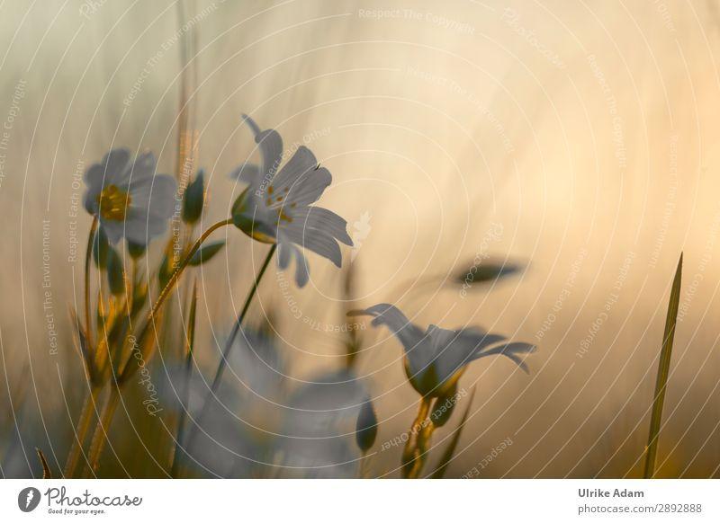 Sternmiere im Abendlicht Natur Pflanze Blume Erholung ruhig Blüte Frühling Wiese Design Zufriedenheit leuchten träumen elegant Hoffnung Trauer Wellness
