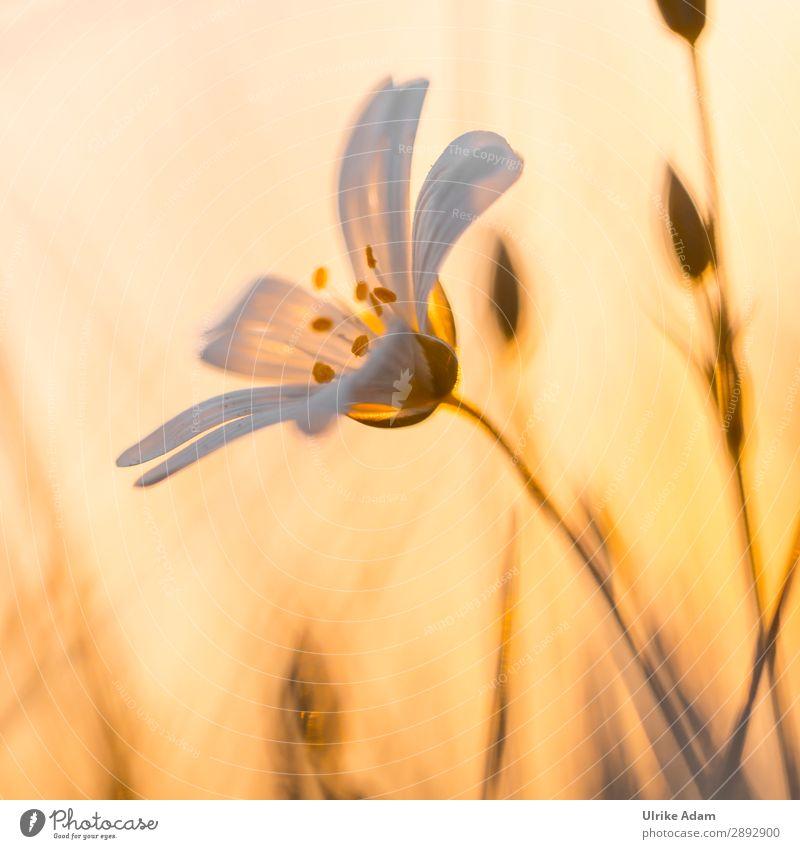 Sternmiere im Abendlicht schön Wellness harmonisch Zufriedenheit Erholung Meditation Spa Trauerkarte Muttertag Trauerfeier Beerdigung Natur Pflanze Frühling