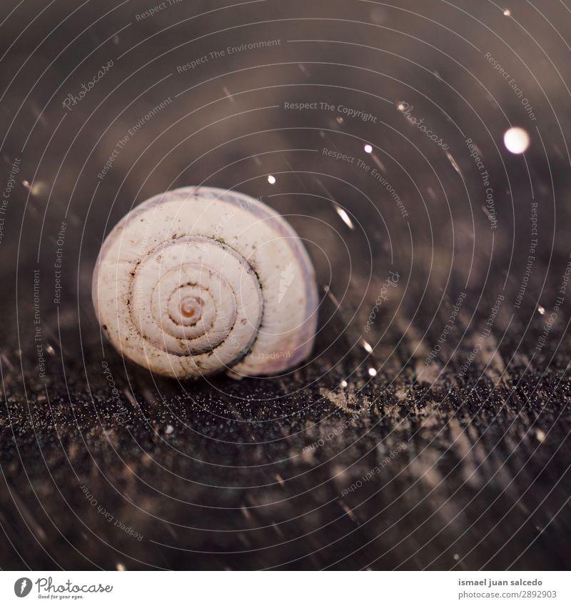 Schnecke in der Natur im Frühjahr Riesenglanzschnecke Tier Wanze weiß Insekt klein Panzer Spirale Pflanze Garten Außenaufnahme zerbrechlich niedlich