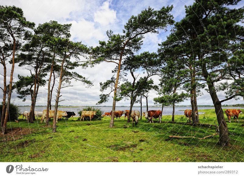Weltuntergang? Versteckt euch! Landwirtschaft Forstwirtschaft Himmel Wolken Baum Kiefer Wiese Ostsee Meer Weide Kuh Rind Tiergruppe Herde blau braun grün weiß