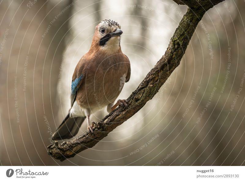 Eichelhäher 2 Umwelt Natur Tier Sonnenlicht Frühling Sommer Herbst Schönes Wetter Baum Ast Garten Park Wald Wildtier Vogel Tiergesicht Flügel Krallen 1
