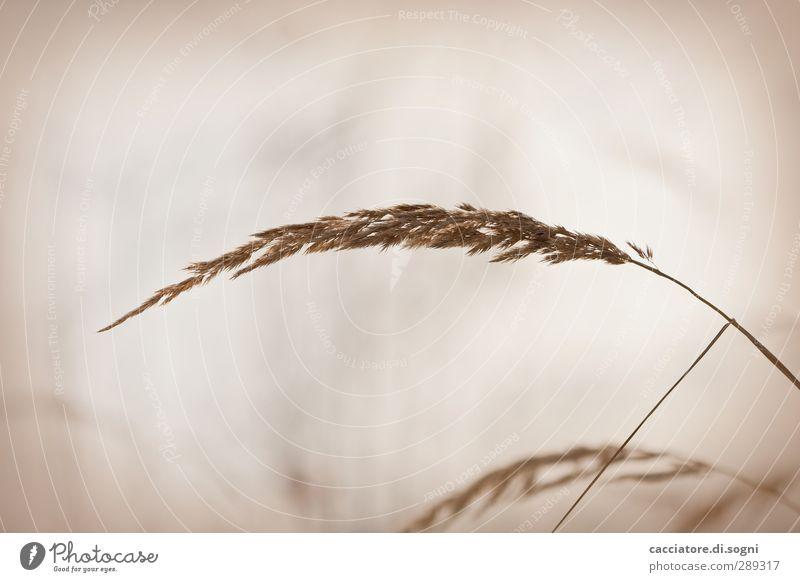 soft Natur Pflanze schön Erholung Einsamkeit Herbst Wiese Gras natürlich Freiheit braun Stimmung träumen Lebensfreude einfach Warmherzigkeit