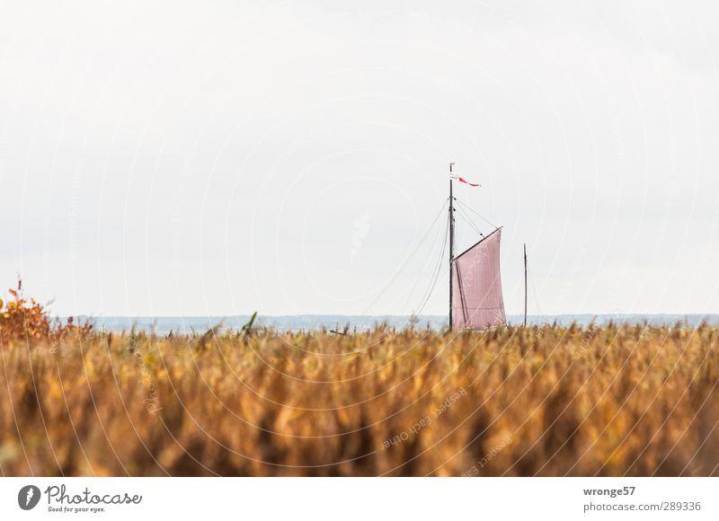 Boddensegler Pflanze Meer Landschaft Herbst Horizont braun Wasserfahrzeug Deutschland Europa fahren Seeufer Schilfrohr Segeln Wolkenloser Himmel Mast