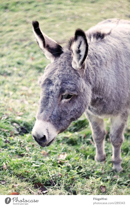 Flauschpaket Tier 1 stehen Esel Wiese Ohr auslaufen Einsamkeit horchen Denken niedlich grau Farbfoto Gedeckte Farben Außenaufnahme Tag
