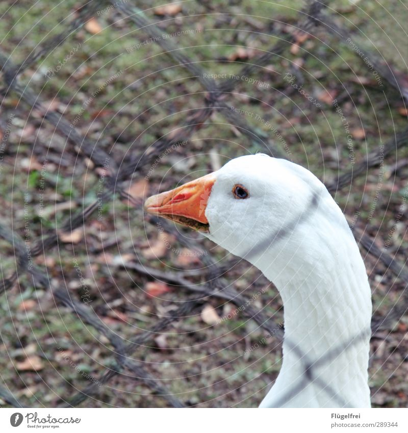 Freilandhaltung immerhin Nutztier 1 Tier Blick Gans Feste & Feiern gefangen Traurigkeit Bauernhof Außenaufnahme Wiese Vogel Zaun Maschendrahtzaun Farbfoto