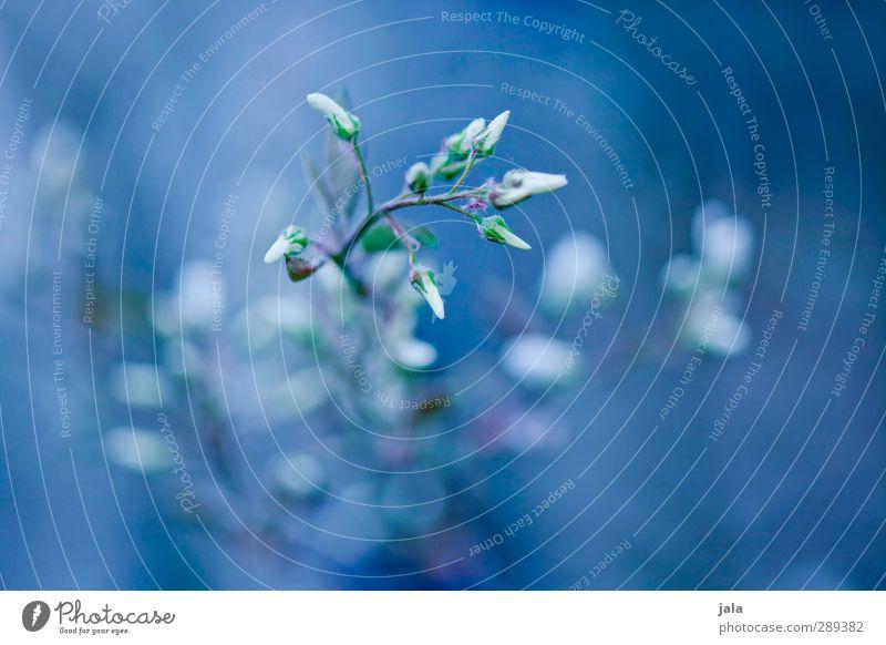 bleu Natur blau Pflanze Blume Blatt Umwelt Blüte ästhetisch Wildpflanze