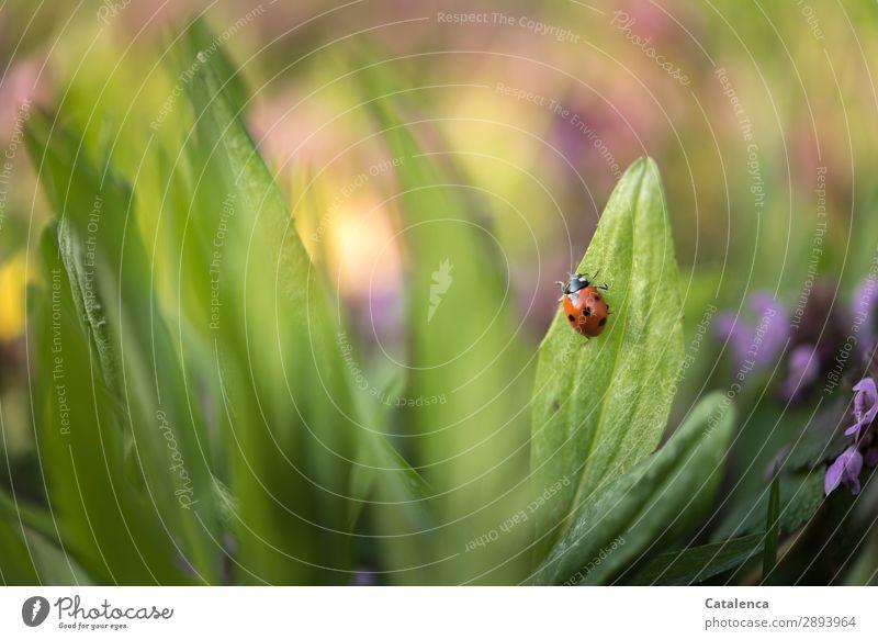 Auf in den Frühling Natur Pflanze Tier Blume Gras Blatt Blüte Wildpflanze Rasenunkraut Unkraut Wiese Wildtier Käfer Marienkäfer 1 krabbeln schön klein Leben