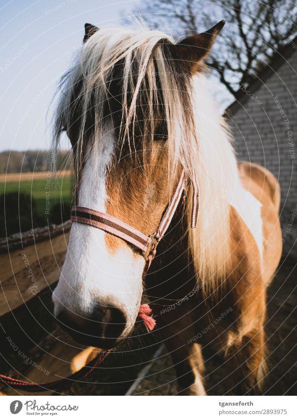 Pferd Freizeit & Hobby Reiten Reitsport Sportler Tier Haustier Nutztier 1 blond Gesundheit braun Lebensfreude loyal Abenteuer entdecken Erfahrung Fürsorge