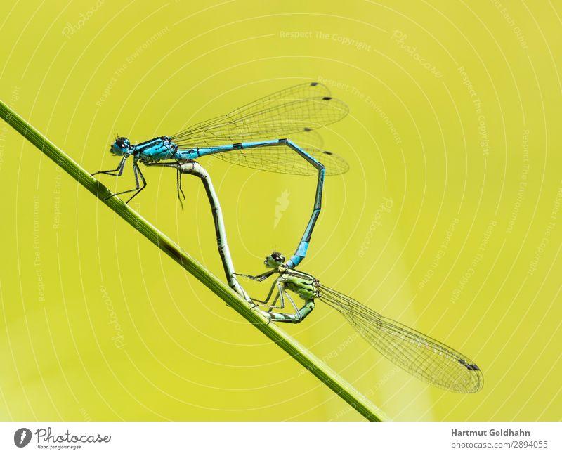 Zwei Libellen bei der Paarung. Tier Wildtier Flügel 2 Sex wild blau Fortpflanzung Insekt Makroaufnahme Azurjungfer Naturwunder Halm Schlanklibelle Klein Libelle