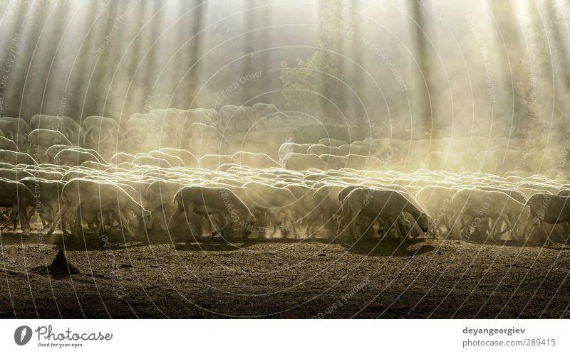 Herdenschafe im Wald schön Sommer Berge u. Gebirge Umwelt Natur Landschaft Tier Gras Wiese Hügel See Dorf Nutztier Fressen Ackerbau Schaf Schwarm Bauernhof