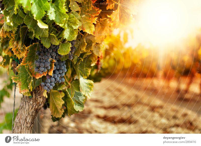 Weinberge bei Sonnenuntergang in der Herbsternte Tourismus Sommer Natur Landschaft Pflanze Himmel Blatt Wachstum frisch gelb grün rot Farbe ländlich Ackerbau
