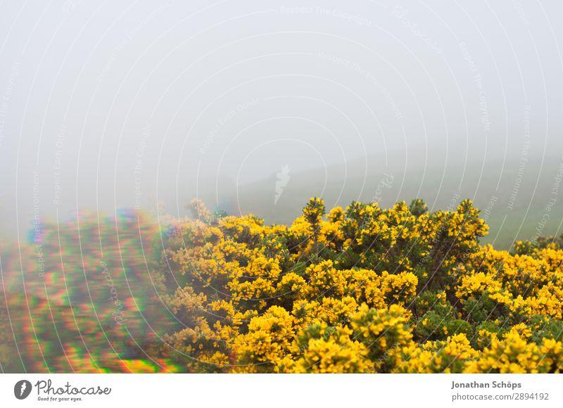 gelber Stechginster am Arthur's Seat in Edinburgh Ferien & Urlaub & Reisen Natur Pflanze Landschaft Blume Umwelt Frühling wandern Nebel ästhetisch Sträucher