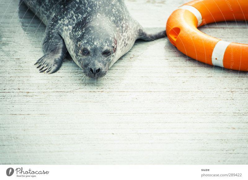 Rettung für den Weltuntergang Tier Wildtier Tiergesicht 1 liegen warten lustig Neugier niedlich wild orange Müdigkeit Seehund Robben Rettungsring Tierschutz